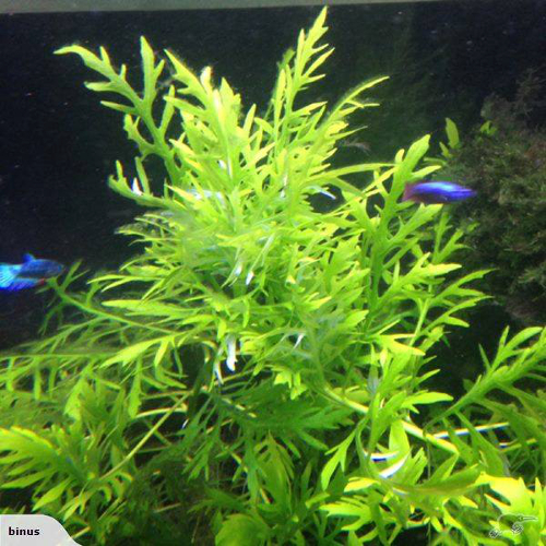 Floating Freshwater Aquarium Plants