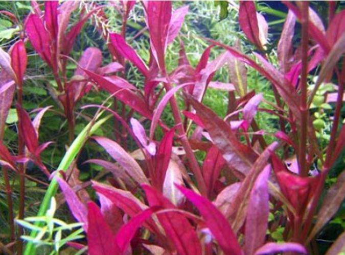 Low Light Floating Aquarium Plants