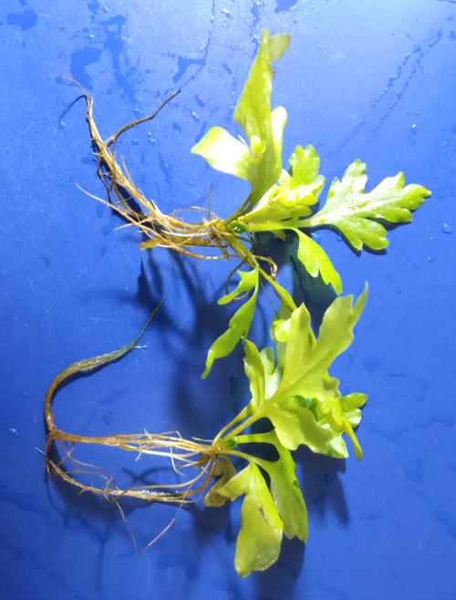 Aquarium Roots Sale