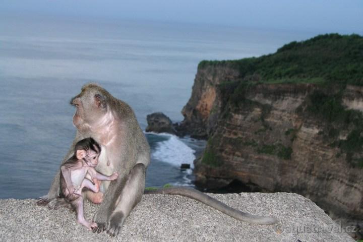Uluwatu makakové na útesech nad mořem
