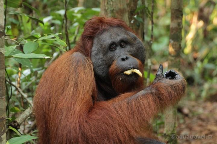 Orangutaní samec z NP Tanjung Puting na Borneu