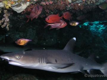 Žraloci pod korálem u ostrova Selang Bali