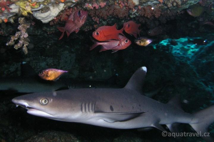 ŽŽraloci pod korálem u ostrova Selang