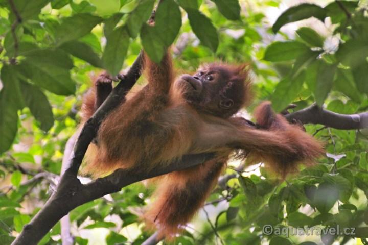 Orangutaní kluk z NP Gunung Leuser