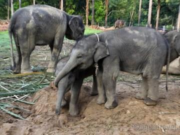 Sloni z Tangkahanu