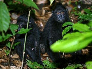 Tangkoko makakové