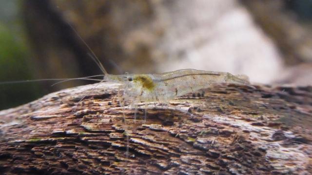 透明なミナミヌマエビの若い個体