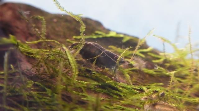 真っ黒なミナミヌマエビ・抱卵中