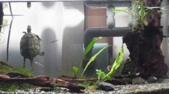 90水槽のレイアウト修正 流木にモスとミクロソリウムを活着