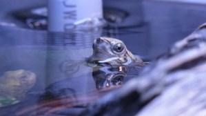 [今日の三撮] 水面から顔を覗かせるニホンイシガメ