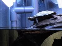[今日の三撮] 水中?陸上?迷うニホンイシガメ