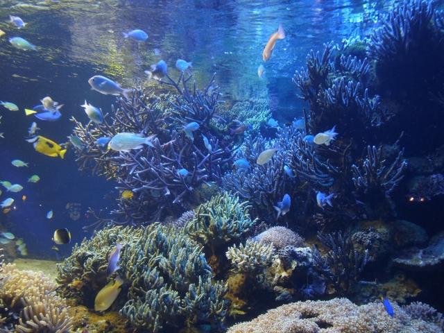 魚もいっぱいのサンゴ水槽
