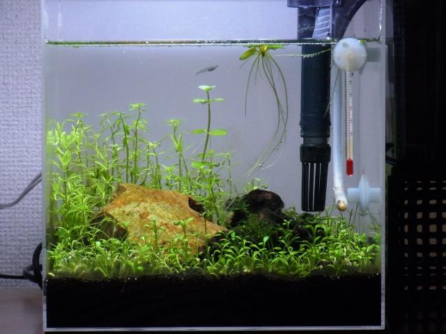 6月18日の20cmキューブ水草水槽