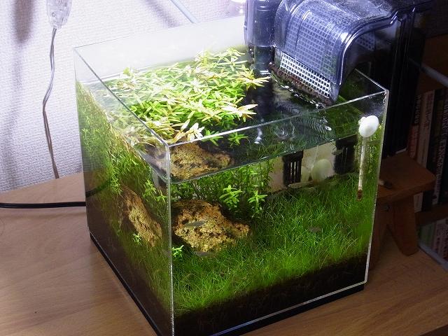 水草が繁茂した20cmキューブ水槽