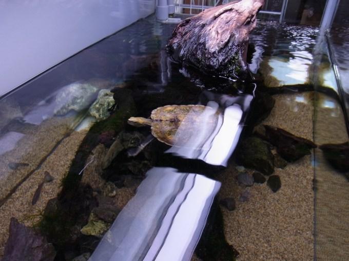カメのレイアウト水槽の水面を覗きこむ