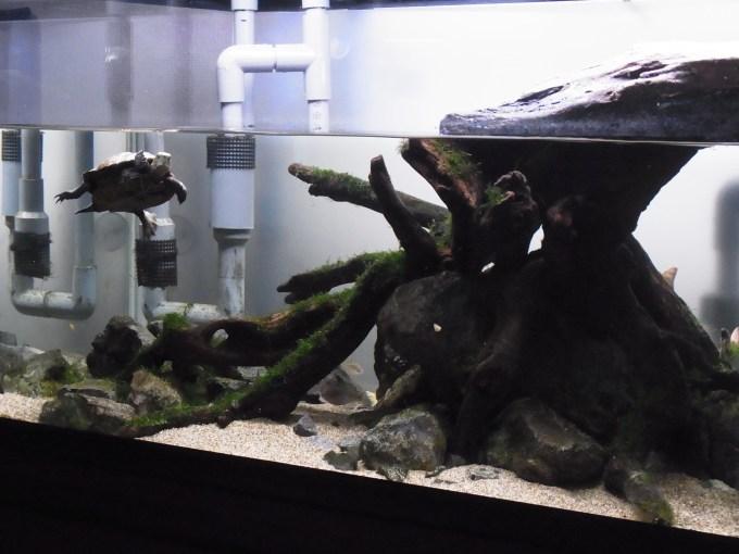 斜めから見た亀のレイアウト水槽