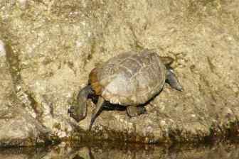 ニホンイシガメを守れ!固有種保護のための外来種の捕獲活動