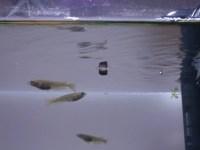 新しい動画を投稿!水面を這うように逆さ泳ぎするタニシ!