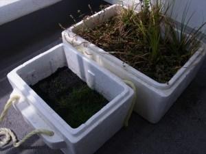 植栽から1ヶ月半が経過した水草水上葉の成長状況