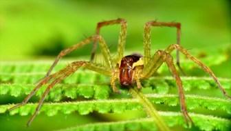 クモの世界の美食家か?少なくとも18種の魚食性のクモが存在
