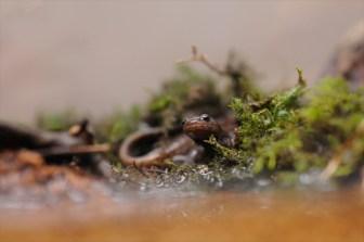 新登録の「エコパーク」でハコネサンショウウオの新種を発見