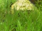 水草水槽の厄介なコケ!藍藻(シアノバクテリア)対策と駆除