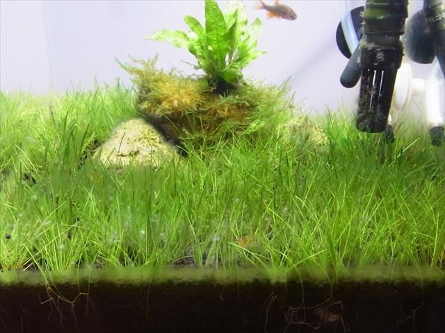 近寄ると藍藻が発生していることが分かる