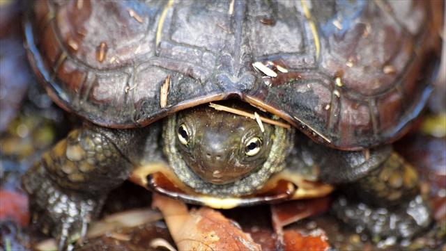 Chinese three-keeled pond turtle