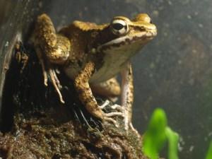 沖縄の絶滅危惧種「ハナサキガエル」と青色の色彩変異個体