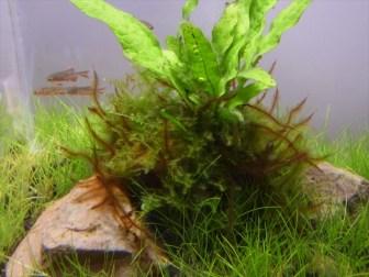 ミクロソリウム・プテロプスの活着根がやたら伸びてきた