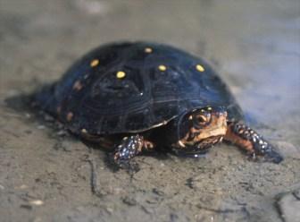キボシイシガメの飼育・繁殖・特徴まとめ!甲羅に星が輝く美しい亀