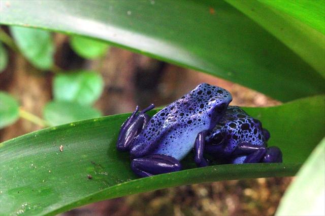 Blue Poison Dart Frogs