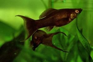 ブラックモーリーの飼い方と繁殖!アクアリウムの藍藻対策におすすめ