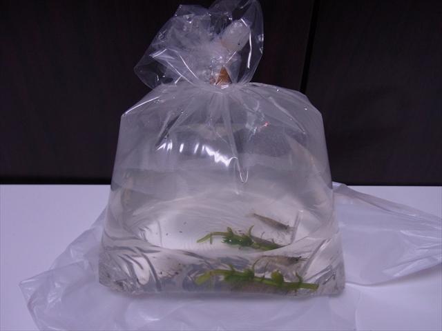 袋詰になった購入してきた生体