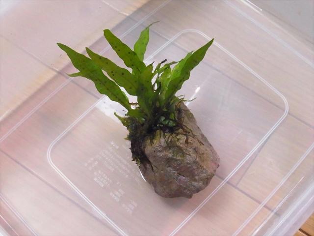 活着根をカットしたミクロソリウム・プテロプスつき渓石