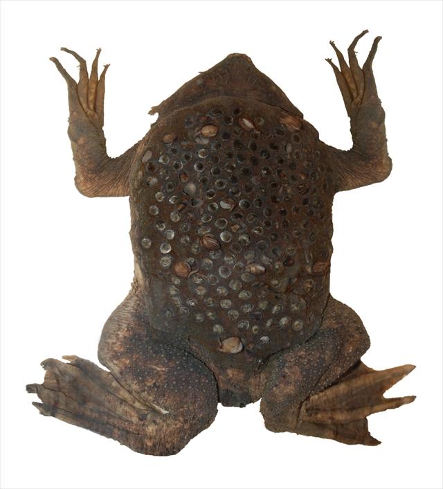 Surinam toad (DFdB)