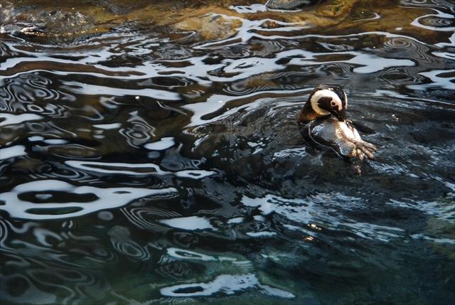 泳いでいるケープペンギン
