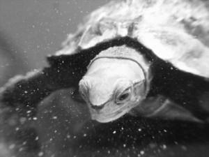 ニホンイシガメのマル君が長い闘病生活の末に眠りにつきました