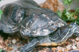 ゴミのポイ捨てのせいで甲羅が変形した亀「ピーナッツ」のお話