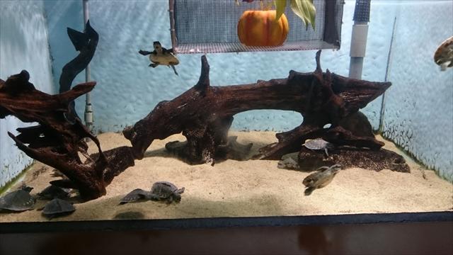 スッポンモドキの子亀