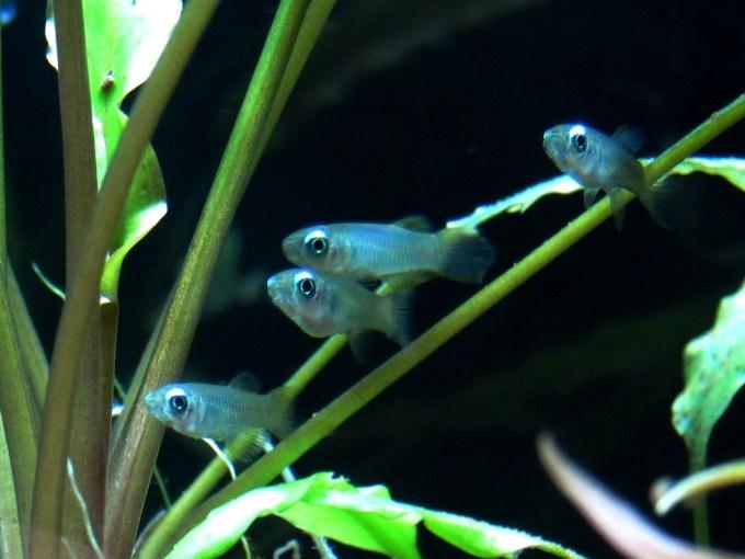 アフリカン・ランプアイ(poropanchax normani)