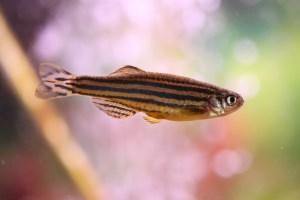 ゼブラダニオの飼育・繁殖・混泳-美しい縞模様の活発な熱帯魚