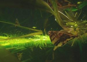 ハチェットフィッシュ全3属9種の飼育と生態-飛び出し事故に要注意!
