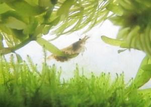 ミナミヌマエビを産卵・繁殖させよう:爆殖のコツと必要・不要なもの