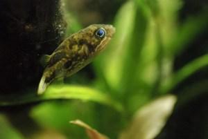 アベニーパファーの育て方:淡水で飼育・繁殖できる小型フグ
