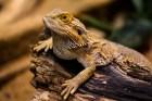 トカゲ・ヤモリを飼育したい!ペット向けのおすすめ10種類