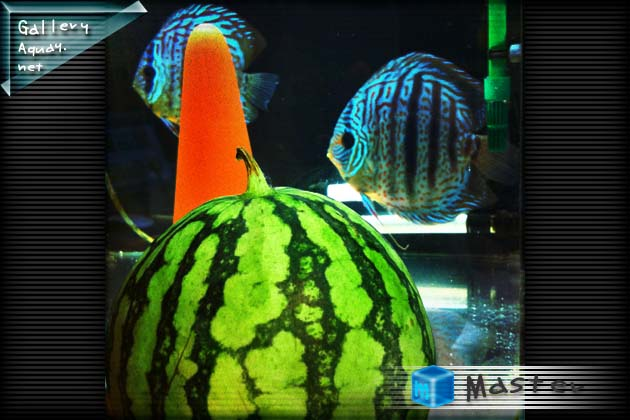 Heckel Cross Discus and watermelon