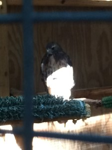 Ruby the Red-Tailed Hawk (Unfortunately, we couldn't get a better photo of her.)