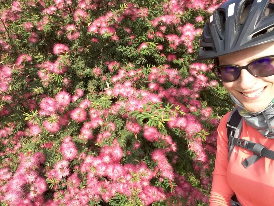 Antes de chegar ao trabalho, fiquei maravilhada com a caliandra cor de rosa! Foto: Luciana Vieira - 05/10/2020