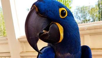Arara Azul sorria